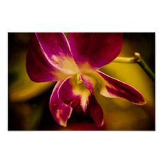 Flor 25 Orquídea Carmin e Amarela Posters