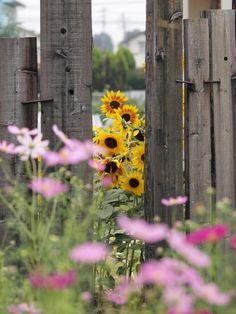Sunflowers peeking through #fieldforhope