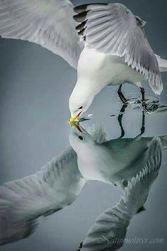 gull reflected