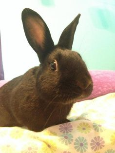Meet RIGBY!, an adoptable Bunny Rabbit Rabbit | Naugatuck, CT | Who wants a party bun? This guy knows how to have a good time. He's fun, friendly, and flirty,...
