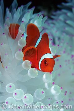 Spine-cheek Anemonefish Tomato Clownfish~  You Can Do It 2. http://www.zazzle.com/posters?rf=238594074174686702