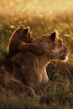 Lions watching the sunrise together
