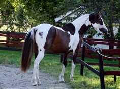 Image result for tobiano horses