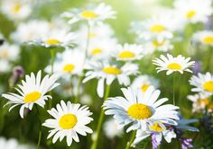 Picture of field of daisy flowers stock photo, images and stock photography. Daisy Flowers, Stock Photos, Creative, Garden, Plants, Pictures, Photography, Inspiration, Image