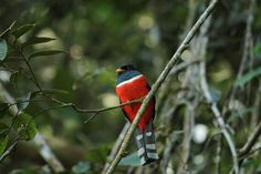 [trogon personatus] Descarga en tu celular los sonidos de la Biodiversidad colombiana @inst_humboldt