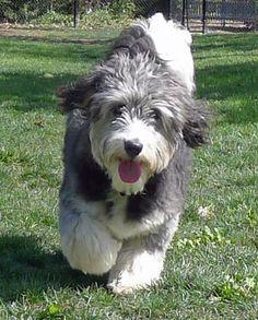 Australian Shephard/Poodle Mix