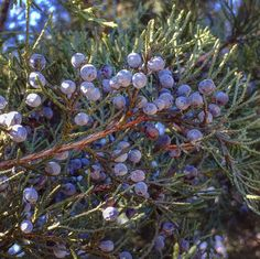 Juniper berries make a brilliant digestive aid. You can chew on a few berries before a meal or prepare your own aromatic bitters with juniper, fennel, cardamom and calamus | Chestnut School of Herbal Medicine.