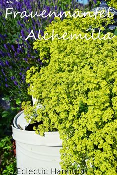 Blühender Frauenmantel / Alchemilla   Blooming Lady`s Mantle. Still Life!  http://eclectichamilton.blogspot.de/2014/06/garden-love-frauenmantel-kusst-lavendel.html