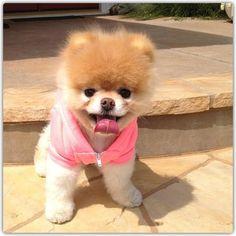 Shaved Pomeranian=cutest dog ever