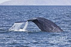 A Blue Whale raises its tail fluke as it deep dives off Isla San Jose, in the Sea of Cortez, Mexico. Blue Whale, Baja California, Newfoundland, San Jose, Dolphins, Diving, Mexico, Deep, Animals
