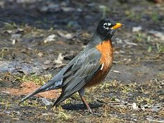 """American Robins are the classic """"early bird gets the worm"""" bird. You often see them on lawns, and often quite a few at once. They also like berries - but sunflower seeds? Not so much."""