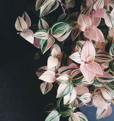 "2,187 Likes, 71 Comments - Anna (@littleandlush) on Instagram: ""Tradescantia Tricolor. I'M IN AWE. Luckily you guys seem to be just as infatuated with this beauty…"""