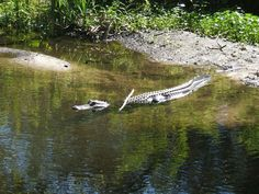 Gainesville, FL : Alligator in Graham Pond on the campus of the University of Florida
