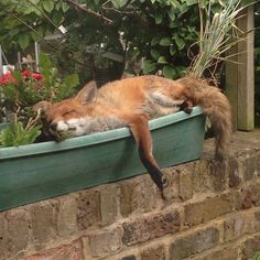Fox happily napping in window box.  Guy says the fox comes to his garden every day. ♥♥