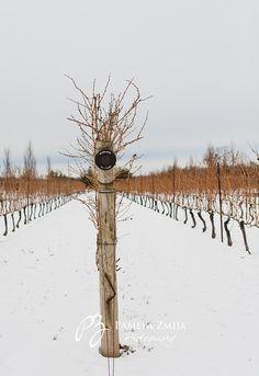 Jackson Triggs Winery Niagara on the Lake, Canada Fantastic Tropical Ice wines.