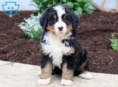 This very sweet and social Bernese Mountain Dog puppy will make an extraordinary family pet! This puppy is AKC registered, vet checked, vaccinated, wormed Baby Puppies For Sale, Dogs For Sale, Mountain Dogs, Bernese Mountain, Bernice Mountain Dog, Really Cute Dogs, I Love Dogs, R Dogs, Dogs And Puppies