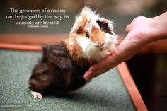 Guinea pig quote! But this goes for any animal