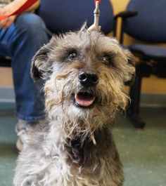 Meet Sampson, an adoptable Schnauzer looking for a forever home. If you're looking for a new pet to adopt or want information on how to get involved with adoptable pets, Petfinder.com is a great resource.