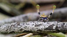 peacock spider gif - Google Search