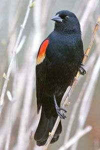 Red-winged Blackbird photo by NP