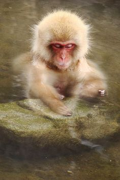 This is an Onsen,The monkey is enjoing the silence. Primates, Mammals, Cut Animals, Animals And Pets, Baby Animals, Beautiful Creatures, Animals Beautiful, New World Monkey, Magnificent Beasts