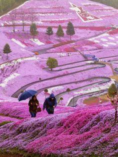 Pinky World! Beautiful Spring Flowers Hillside, Hokkaido, Japan