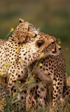 The Cute Wild Animals is looking very beautiful.I want show you more new pictures that who related with Cute wild animals. Vida Animal, Animal Hugs, Mundo Animal, Cheetah Animal, Cute Wild Animals, Animals And Pets, Funny Animals, Adorable Animals, Cheetah Wallpaper