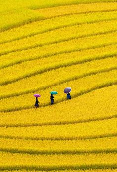 This yellow field is magnificent. I can't believe that nature makes colors this bright and beautiful.