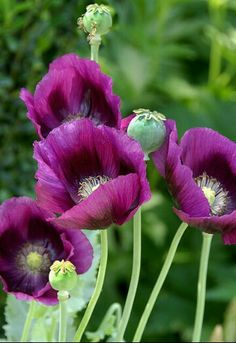 Poppy Himalayan Violet Seeds (Meconopsis Betonicifolia) Mohn Himalayan violett Samen Meconopsis Betonicifolia 20 The post Poppy Himalayan Violet Seeds (Meconopsis Betonicifolia) appeared first on Easy flowers.