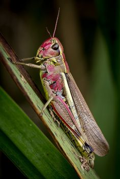 Large Marsh Grasshopper (Female Stethophyma Grossum) by gorpie Cool Insects, Flying Insects, Bugs And Insects, Beautiful Creatures, Animals Beautiful, Mantis Religiosa, Cool Bugs, Macro And Micro, A Bug's Life