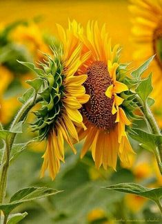 Out of several beautiful flowers, today we have picked some beautiful sunflower pictures for you. This flower is named as sunflower because it looks like sun… and it always face the sun. It rises a… Happy Flowers, My Flower, Beautiful Flowers, Sun Flowers, Flowers Today, Beautiful Gorgeous, Beautiful Things, Yellow Flowers, Sunflowers And Daisies