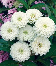 "Zinnia, White Wedding. Large 4-5"" double dahlia blooms flower nonstop. Ideal for cutting. 12-16"". 1 pkt (25 seeds) $5.95"