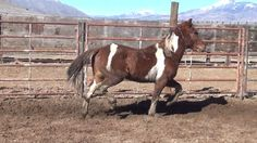 Chestnut tobiano BLM Mustang