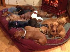 I just love doxie puppy piles!!