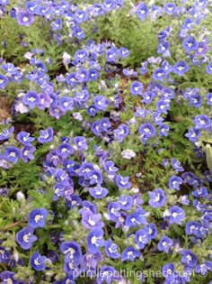 Creeping veronica, groundcover with carpet of blue blooms in spring, www.purplepottingshed.com