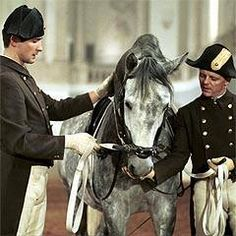 Spanish Riding School in Vienna. Beautiful young stallion in training. Lipizzan, Akhal Teke, Spanish Riding School Vienna, Spanish Heritage, White Horses, Equestrian Style, Horse Riding, Dressage, Beautiful Horses