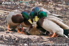 mallard duck female - Google Search