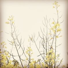 #Yellow #flowers. #Spring #rapeseed