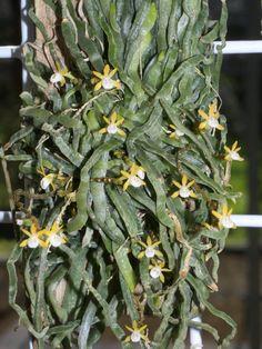 Taeniophyllum pusillum