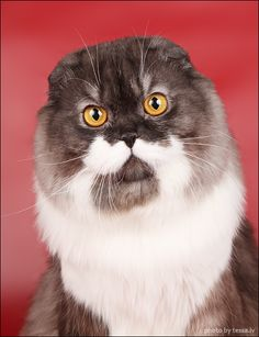 Longhair Scottish Fold Cat reminds me of someone from ZZ Top....mustache and huge beard...