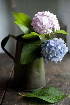 Hydrangeas in coffee pot