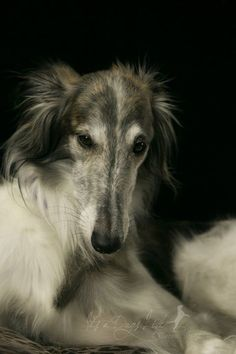 Leopold the Silken Windhound - photo copyright and courtesy of Jacqui Sjonger (It's a Dog's Life Pawtography) - Creature Comforts - Ottawa - ON - Canada