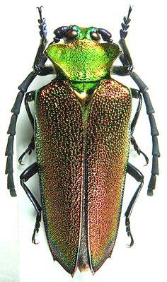 Oxypeltidae - Pesquisa Google