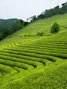 How is Tea Made?