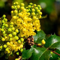 Compact Oregon Grape Holly | Nature Hills Nursery Tall Plants, Large Plants, Types Of Soil, Soil Type, Healthy Delivery, Oregon Grape, Small Shrubs, Evergreen Shrubs, Hedges