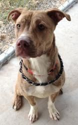 Wyatt #URGENT is an #adoptable #Pit Bull Terrier #Dog in #Clinton, #IL. **THIS PET IS AT THE SHELTER** 2/4/13 'Wyatt' is coming up to a month being here at the shelter. He is a wonderful boy. He knows the r...