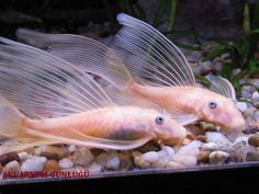Summary: Some of the most exquisite, beautiful tropical fishes are available for sale online. There are various sites that showcase fishes of highest quality and in healthy condition offering at numerous price ranges to be taken home. Tropical Fish Aquarium, Freshwater Aquarium Fish, Fish Aquariums, Beautiful Tropical Fish, Beautiful Fish, Pleco Fish, Aquarium Catfish, Plecostomus, Fish List