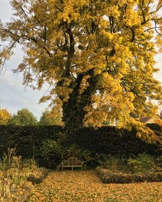 autumn stunner - favourite lime tree in the garden www.mossandstone.co.uk