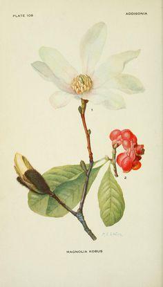 v.3 (1918) - Addisonia, Magnolia botanical plate - Biodiversity Heritage Library