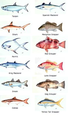 Fishing on pinterest blue marlin fishing and trout for Florida fish species